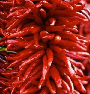 Kashmere Chili - essential ingredient for Vindaloo