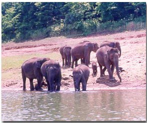 Elephants frolic near River Periyar